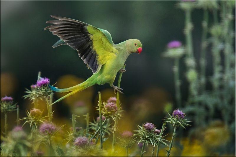 попугай В апрельских зарослях расторопшиphoto preview