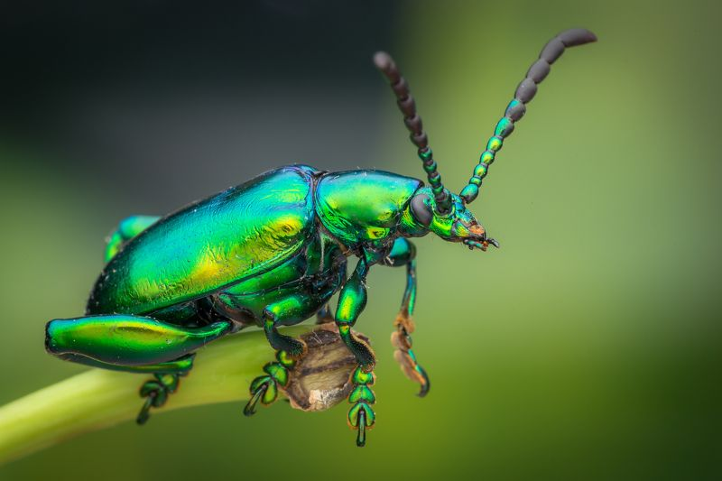 #macro, #green, metalic, #frog, beetle, #npl Metalic Green Froggy Beetlephoto preview