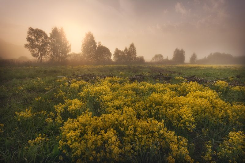 пейзаж, рапс, рассвет, рапсовое поле, пейзажное фото Рапсовое утроphoto preview