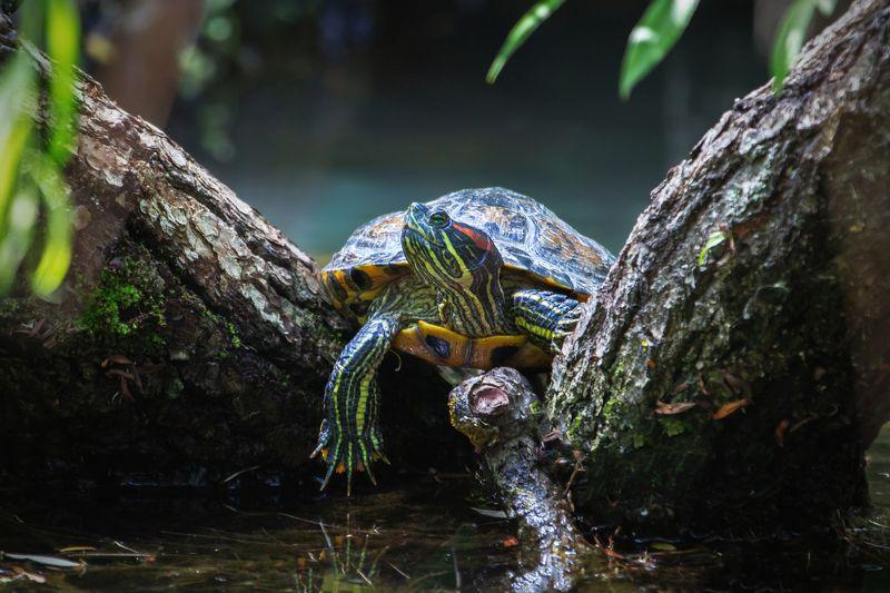 карачаево-черкесия ,кчр ,красноухая черепаха ,черепаха Красноухая черепаха ...photo preview