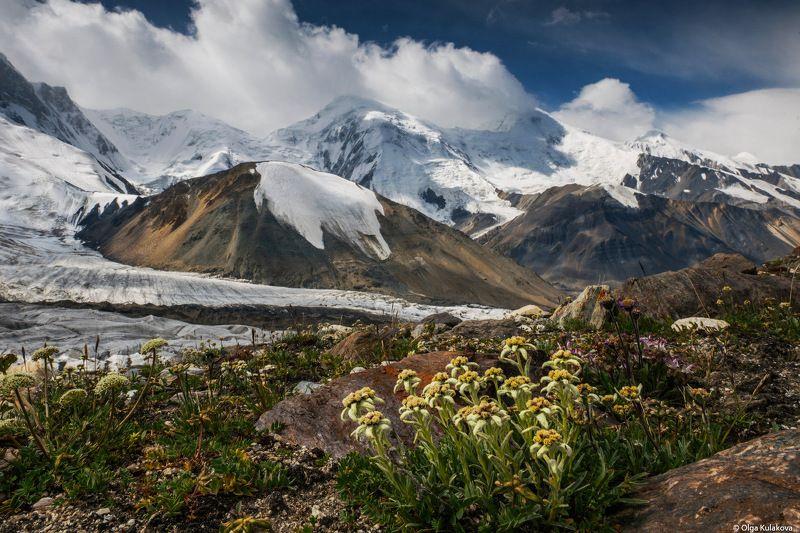 баянкол, тянь-шань, горы, лето, цветы, эдельвейсы Пейзаж с эдельвейсамиphoto preview