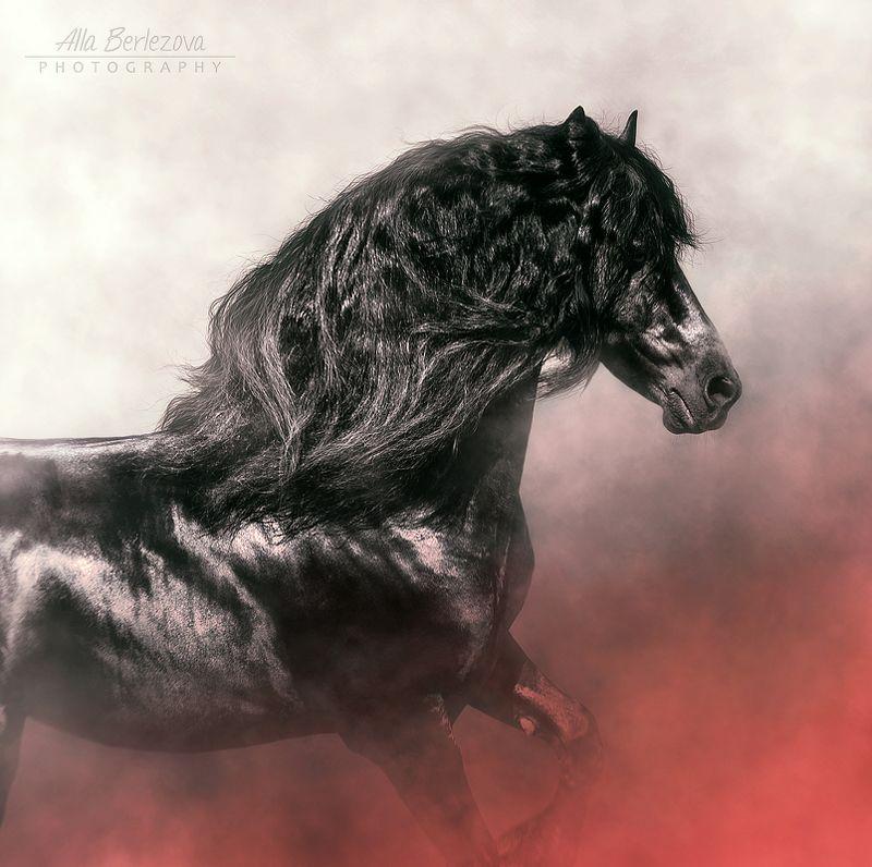 horse, friesian, лошадь, фризская Heike van de Kleiphoto preview