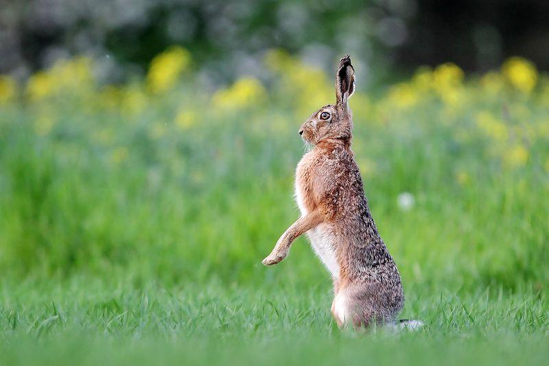 rabbit, wildife ***photo preview
