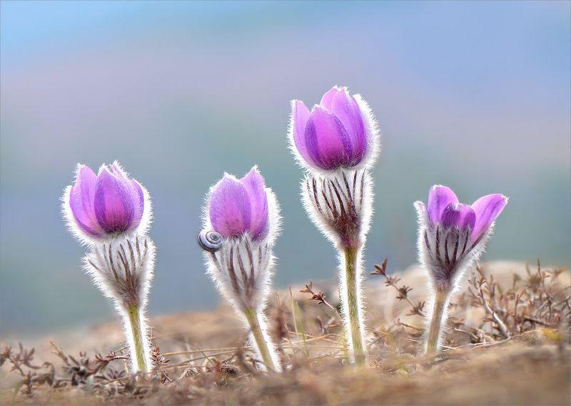 прострел крымский,сон-трава Лиловый сон весны.photo preview