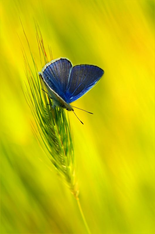 вечер,голубянка В вечерних травах.photo preview