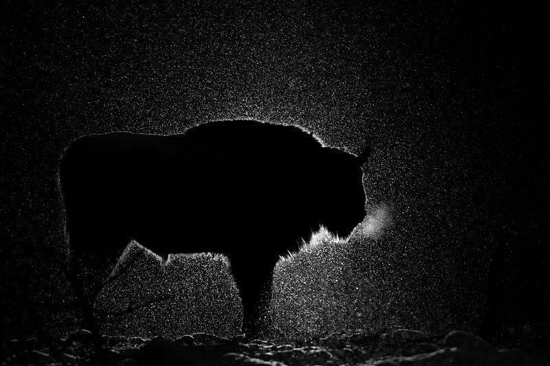 зубр, европейский зубр, калужские засеки, заповедник, ночь, зима, лес, снег, дикая природа, bison, wildlife, winter, night, snow Ночьphoto preview