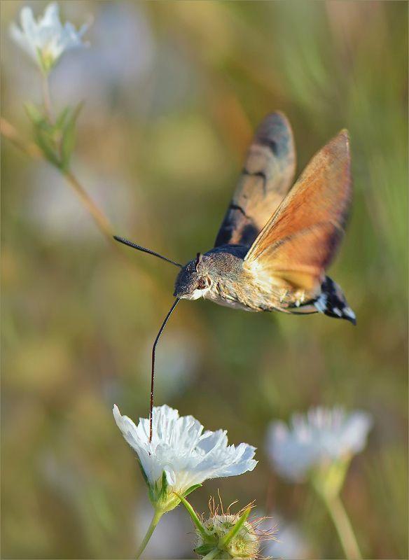 бабочка бражник Бабочка-колибри.photo preview