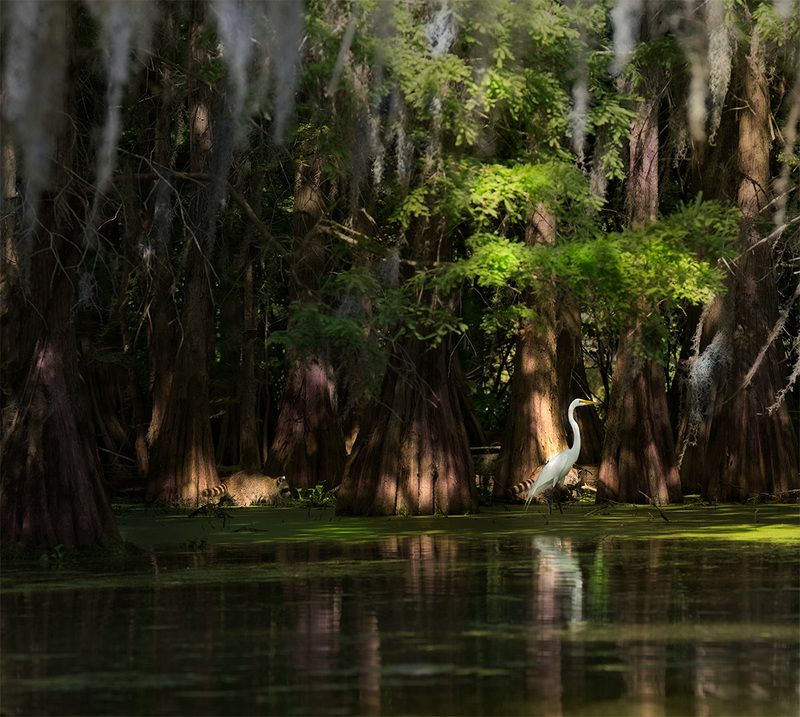 Louisiana, Swamp  White Heron and Racoonsphoto preview