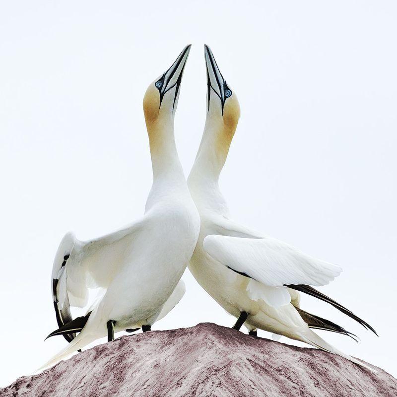олуша, птицы, ирландия, остров, gannet, birds, ireland, island Олуши острова Солтиphoto preview