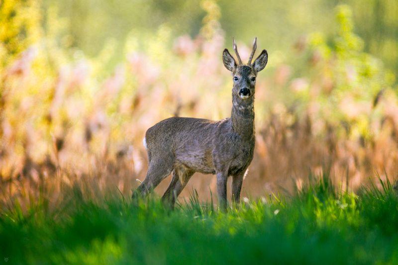 roe deer, buck, wildlife, animal Roe deer buckphoto preview