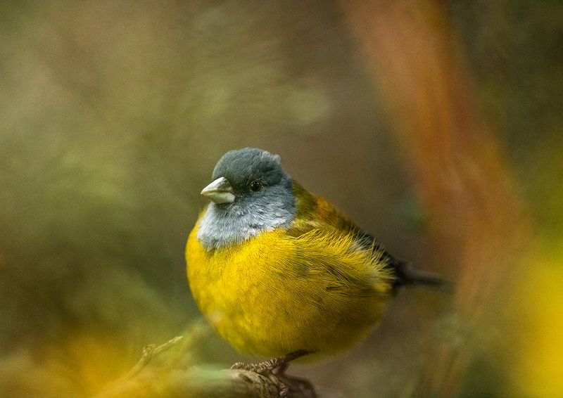 autumn bird patagonia chile yellow feather Phrygilus patagonicus. Torres del Paine National Parkphoto preview
