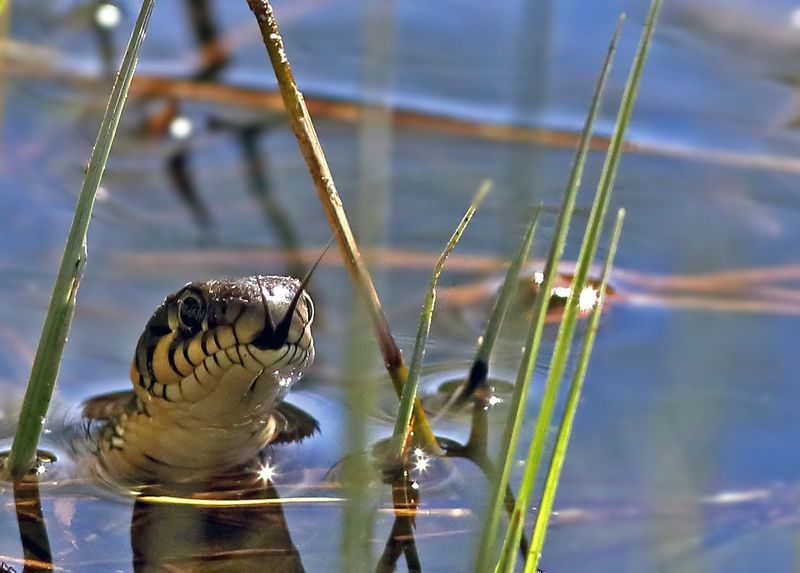 Водяной змей...photo preview