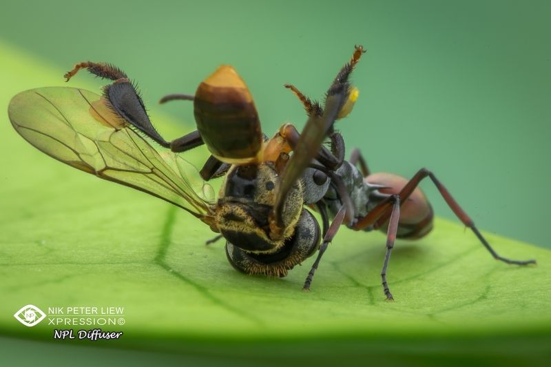 #macro, #ant, #bee, #nature, #prey&predator, #npl The Prey & The Predatorphoto preview