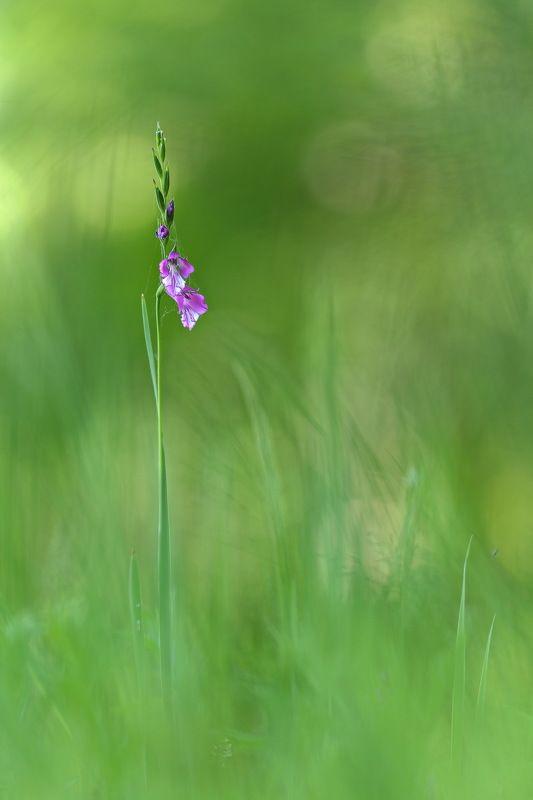 шпажник, гладиолус, черепитчатый, gladiolus, imbricatus, apterus, самарский лес Дикий гладиолусphoto preview