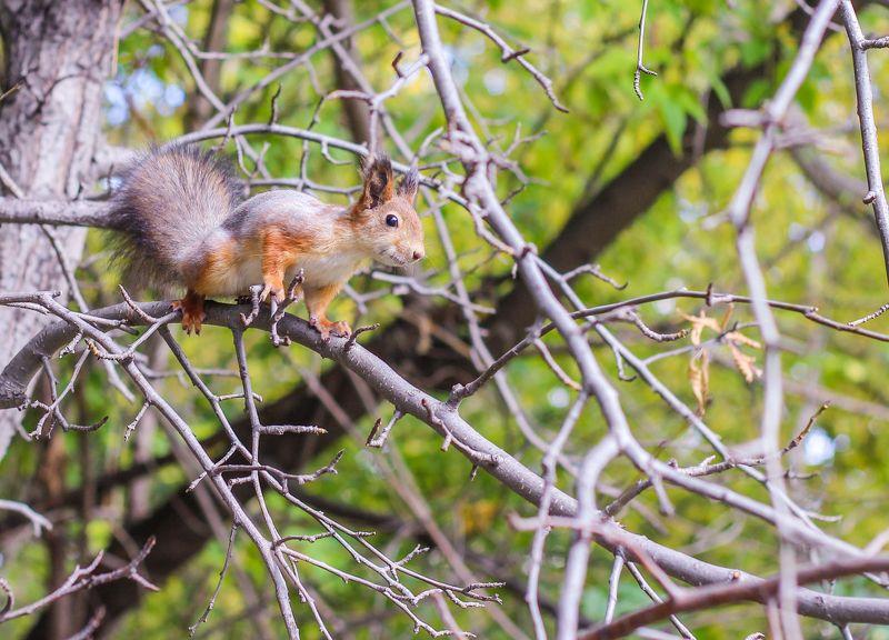 белка белочка жёлтый оранжевый лес ветка прыгать зелёный прыжок Белочкаphoto preview