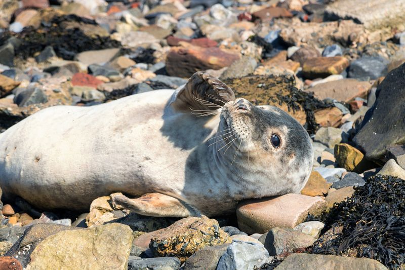 fur seals sea stones relaxation Seal. Holy Island.Great Britainphoto preview