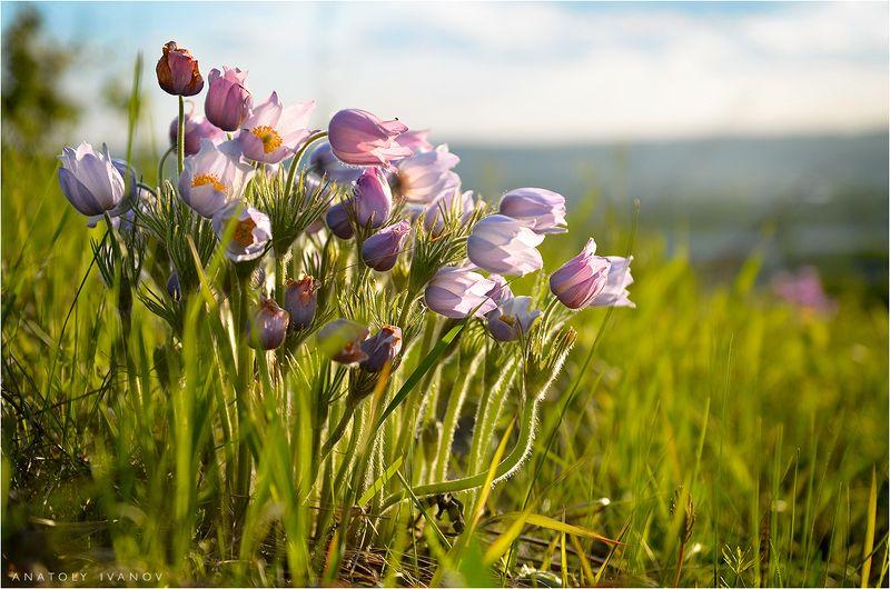 сон-трава, первоцвет, цветы, весна Букеты весныphoto preview