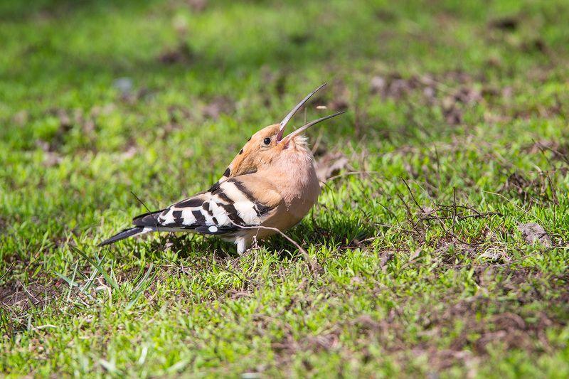 Удод, птицы, дикая природа, hooppoe, wildlife, birds Удачный бросокphoto preview