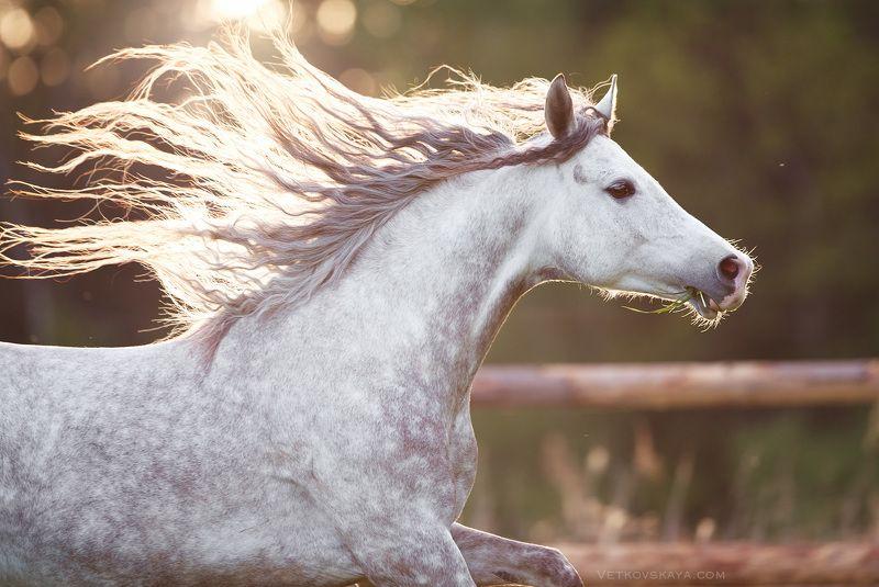 лошадь, жеребец, портрет, рассвет, грива Утренний бризphoto preview