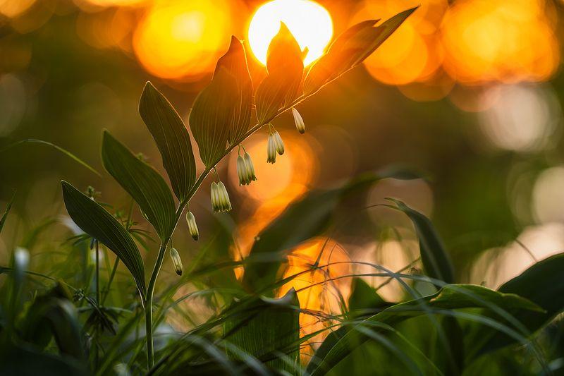 цветы,цветок,макро,растения,природа,купена,закат,солнце photo preview