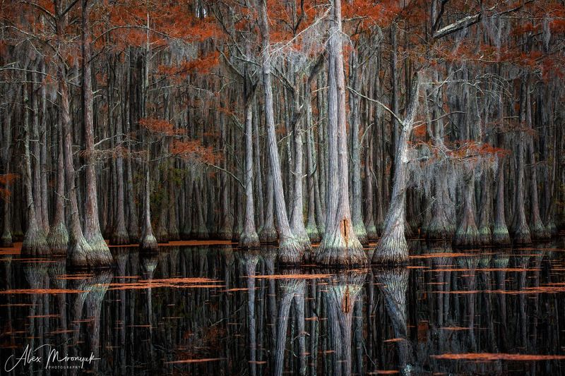 болото, кипарис, сша, джорджия, осень, фототур, отражение Три кипариса почти на Плющихеphoto preview