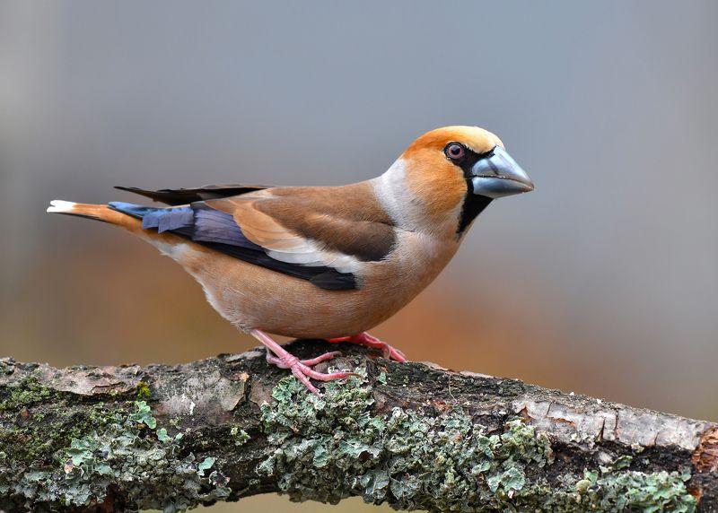 птицы,природа,весна Дубонос.photo preview