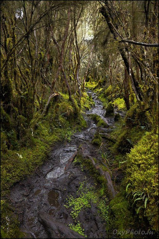 africa, rainforest, rwenzori, uganda, африка, дождевой лес, рувензори, уганда Тропа в дождевом лесу.photo preview