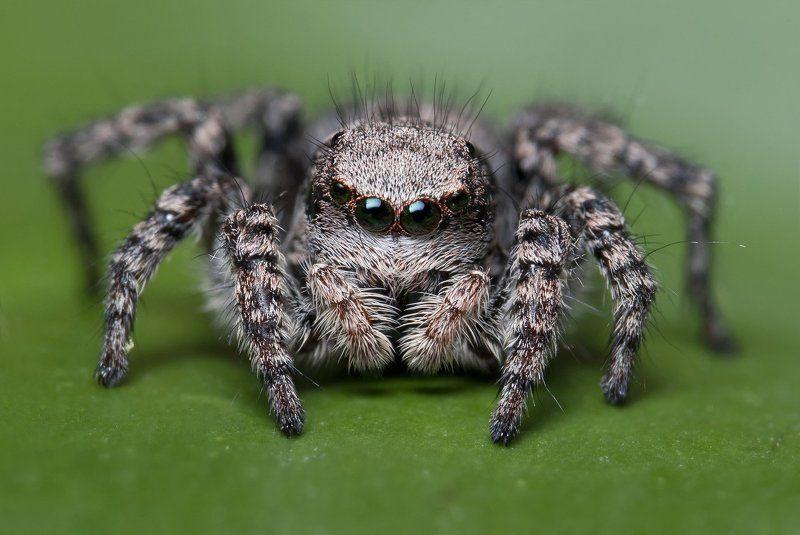 паук, макро, скакун, micro-nikkor af 105mm f/2.8 d, nikon d80 Жемчужный взглядphoto preview