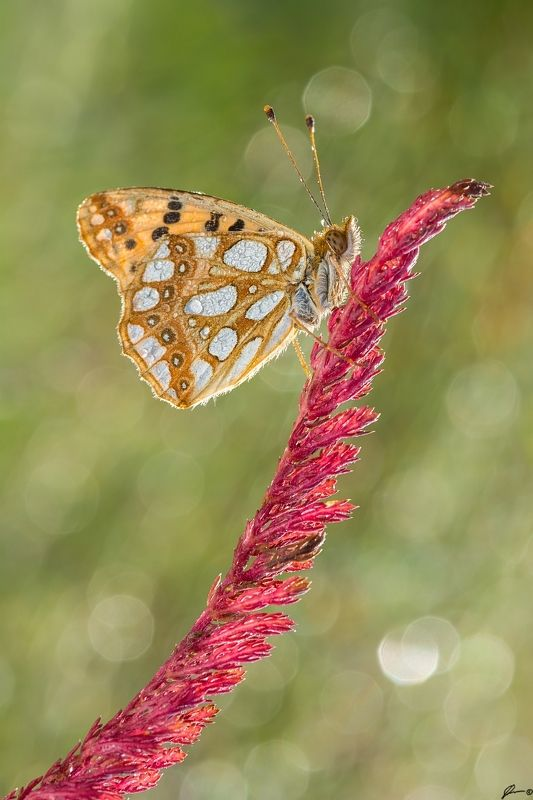 macro, makro, flowers, wild, wildlife, buttrrfly, nature, insects Issoria lathoniaphoto preview