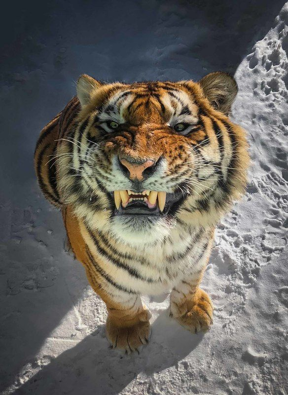 амурский, тигр Тигриное селфи снятое на iPhon )photo preview