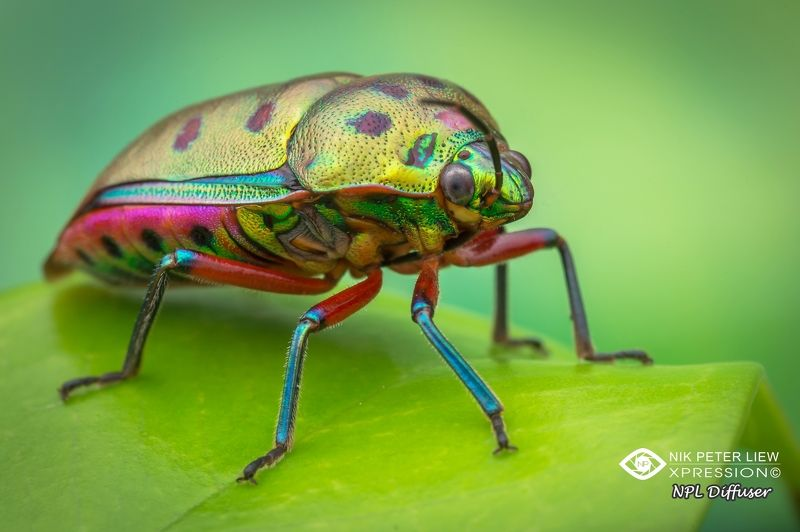 #macro, #jewel, bug, #rainbow, #npl Rainbow Jewel Bugphoto preview