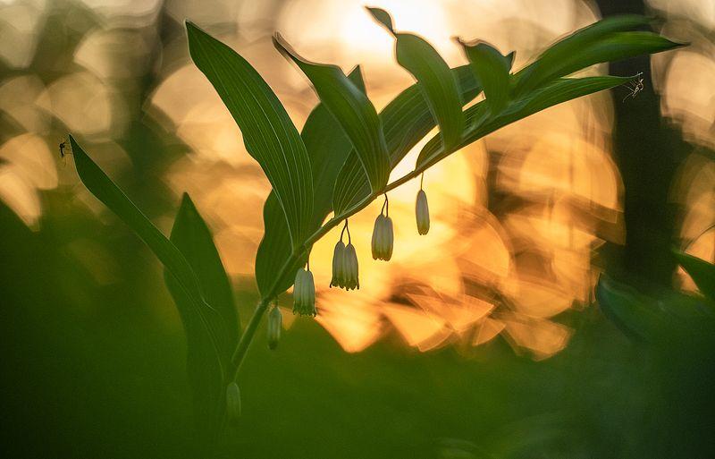цветы,цветок,макро,растения,природа,купена,бокэ,комар Природная геометрияphoto preview