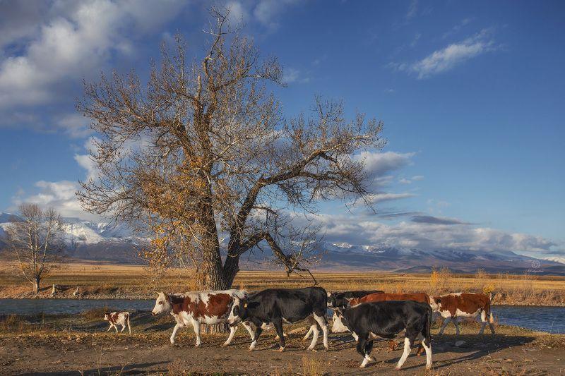 алтай, коровы, семья Семейная прогулка /  Altaiphoto preview