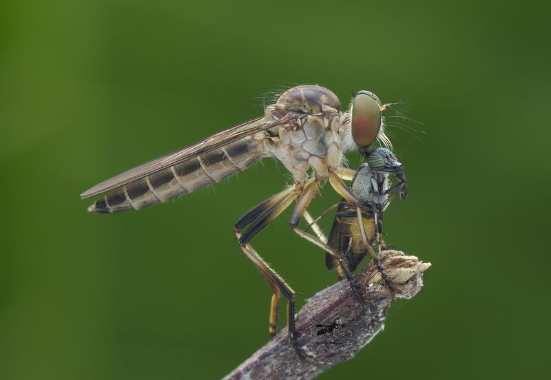 #macro#robberfly#colors#prey Robber Fly With Prey 160606Aphoto preview