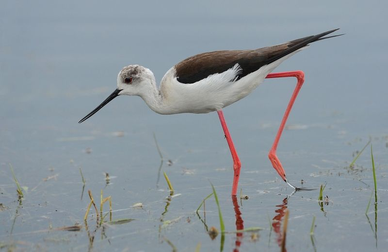 кулик,ходулочник,самка,болото Гулять по воде...photo preview