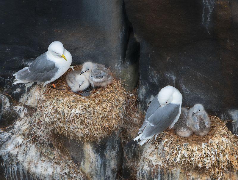 birds Kittiwake Scotland nestling nest feather beak wings rock Kittiwakes. Isle of May. Scotlandphoto preview