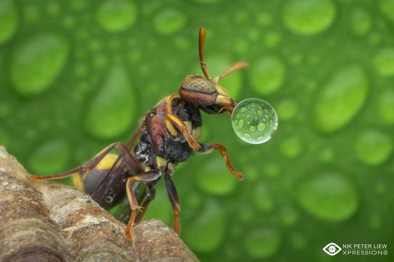 #macro, #wasp, #water, bubble, #nature, #npl Wasp blowing water bubblephoto preview