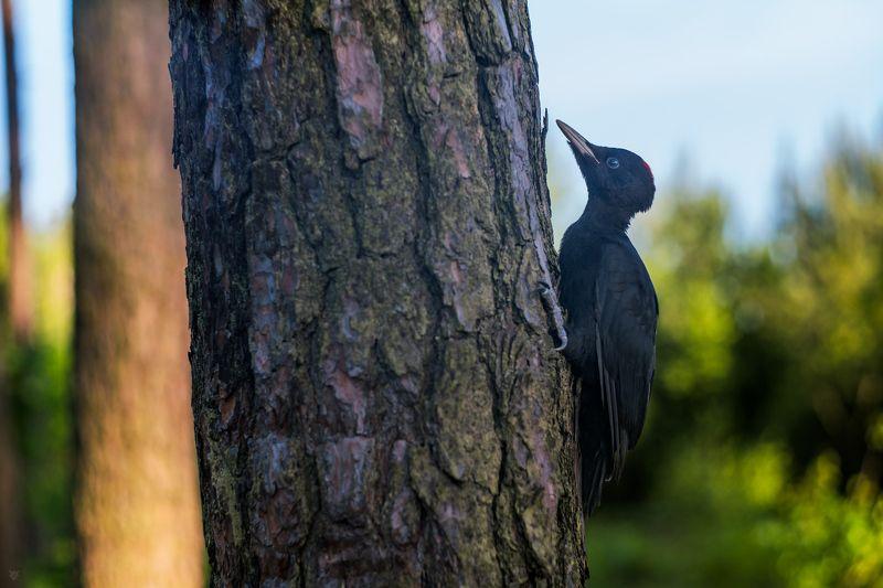 woodpecker, wildlife, bird, forest Lumberjackphoto preview