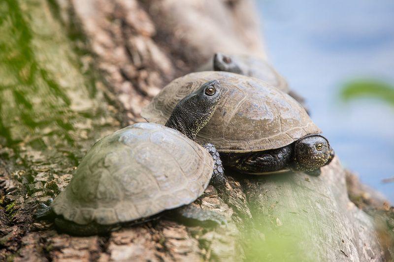 turtle, pond, animal, wildlife, pond turtle, черепаха, болотная черепаха Трио болотных черепахphoto preview