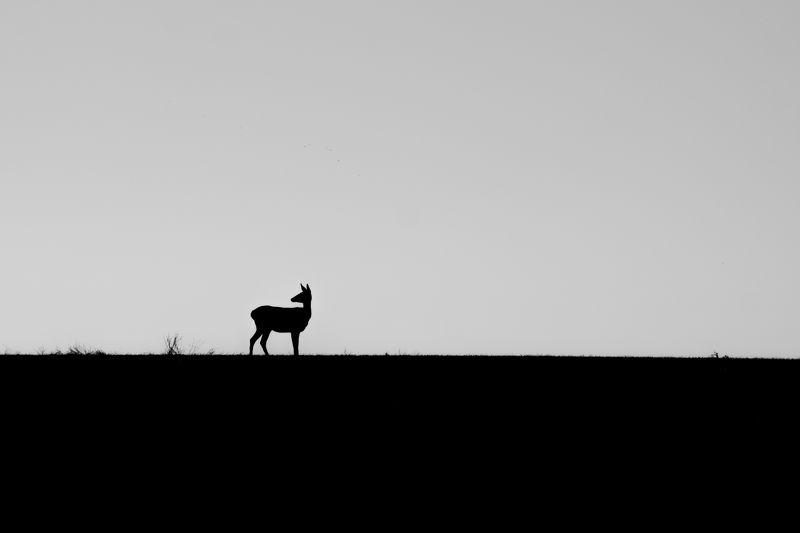 поле, олени, животные, природа, пейзаж, чб Олени в полеphoto preview
