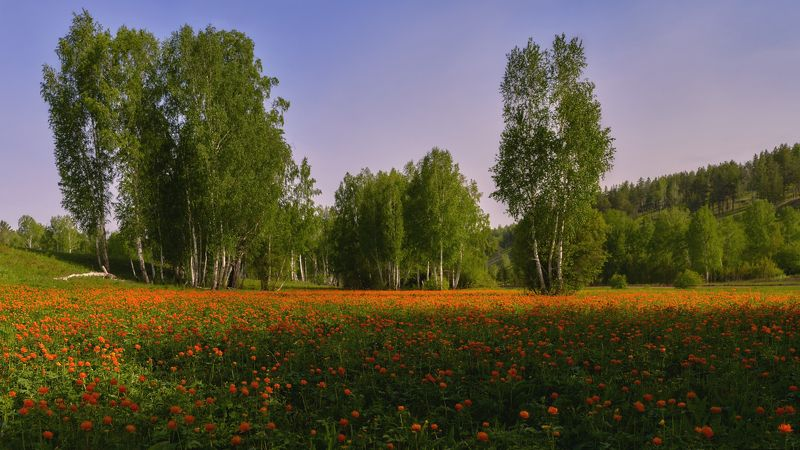 купальница азиатская ,(Trollius asiaticus), жарки , лето ,полевые цветы, берёзы Цветут жарки ...photo preview