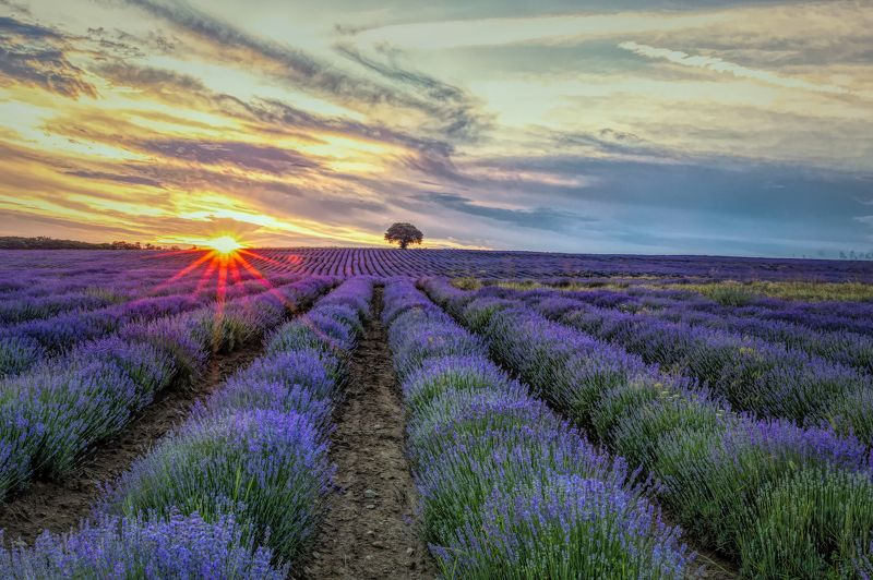 lavender, lavenderfileds, sunset Lavenderfiledsphoto preview