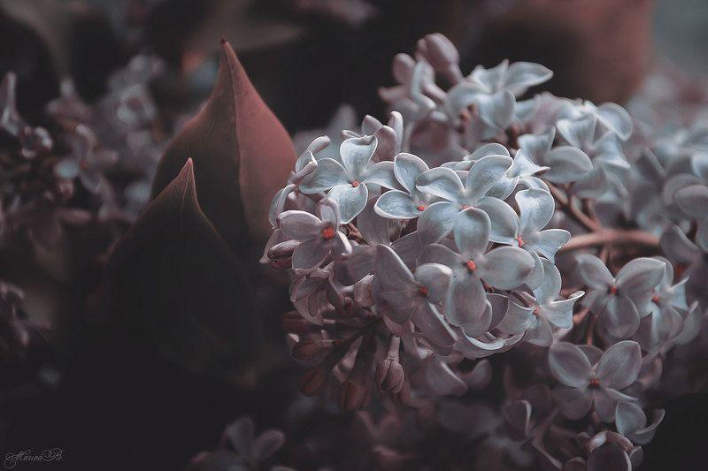 сирень, весенние цветы Пятьдесят оттенков сирениphoto preview