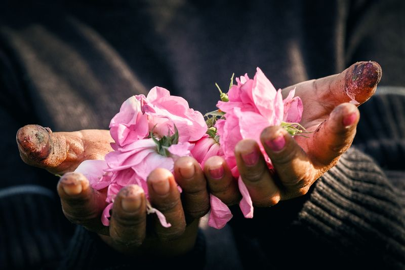 Начало розового маслаphoto preview