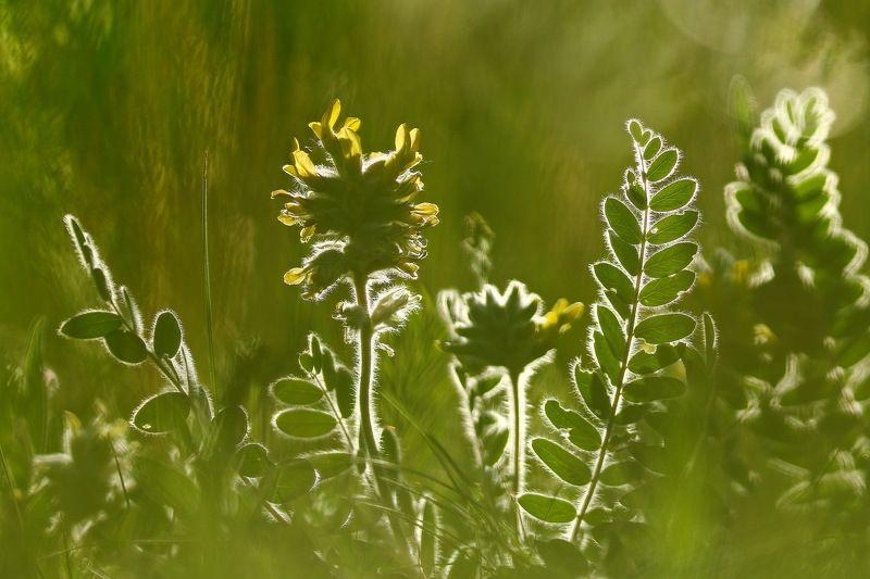 astragalus, dasyanthus, астрагал, шерстистоцветковый, пушистоцветковый, рыбальский карьер Астрагалphoto preview