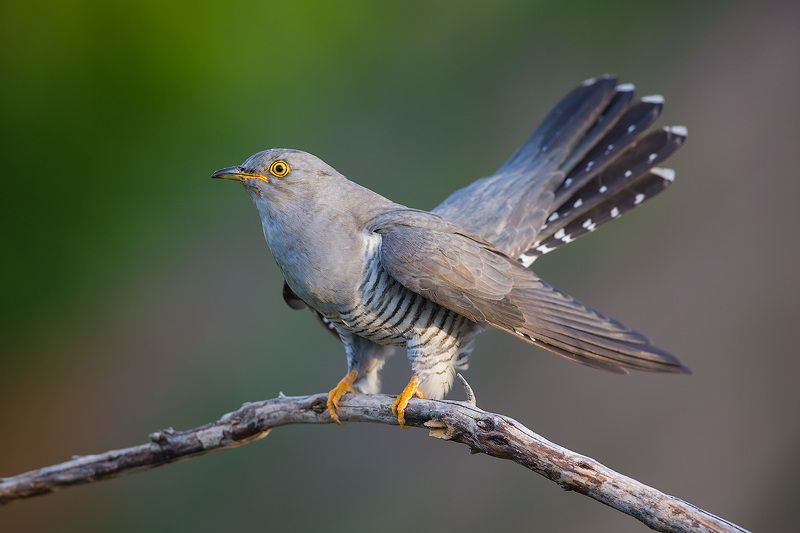 кукушка, cuckoo, bird, wildlife, птица, дикая природа Кукушкаphoto preview