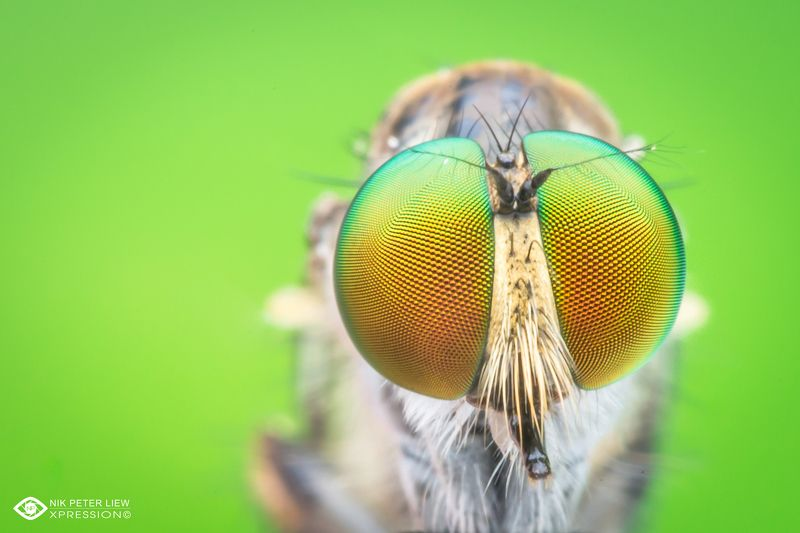 #robberfly, #rainbow, eye, #macro, #nature, #npl The Rainbow Eye\'sphoto preview