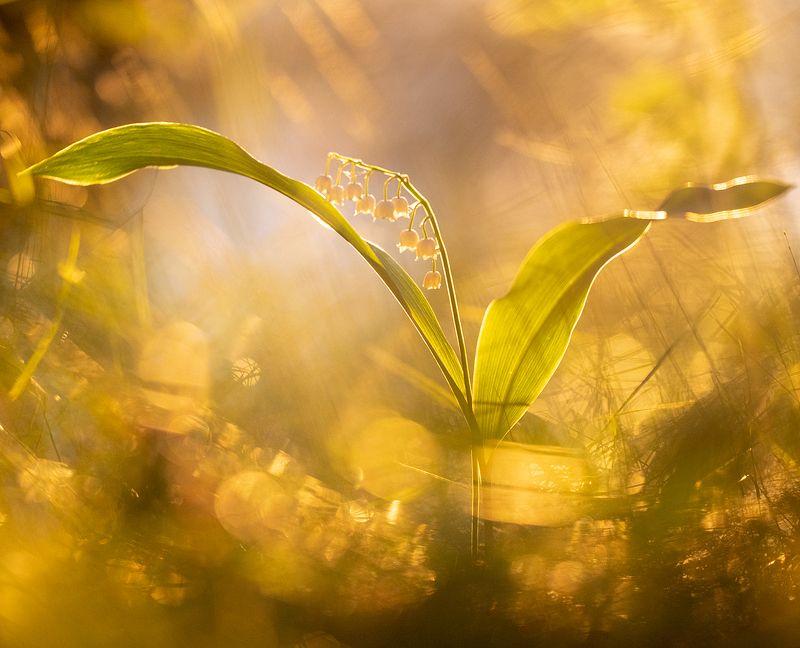 цветы,цветок,макро,растения,природа,ландыш,бокэ Весенние ландышиphoto preview