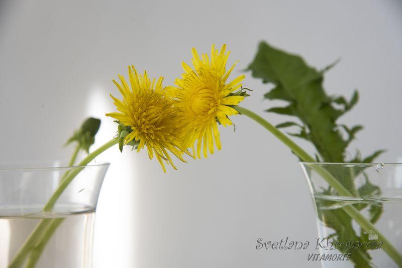 одуванчики, лето, цветы Одуванчикиphoto preview