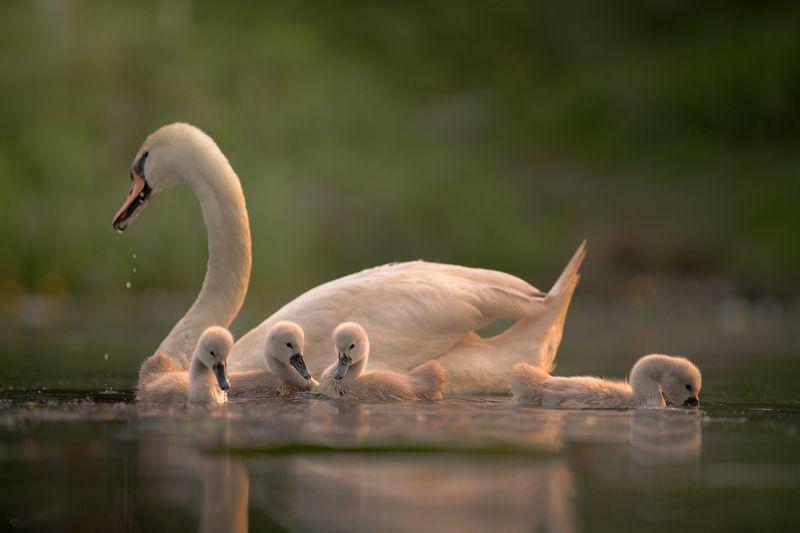 swan, wildlife, birds Swan Lakephoto preview
